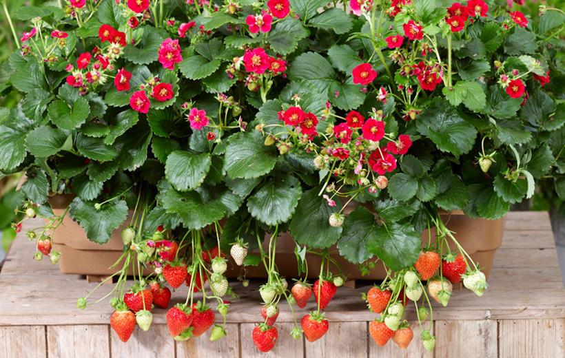 本気野菜イチゴ ローズベリー・レッド