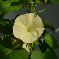 ″Yellow Morning Glory″ blossom