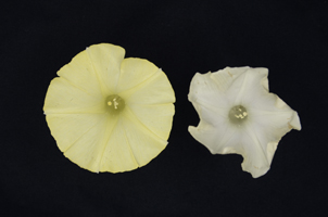 SIC Succeeded in Making Illusory ″Yellow Morning Glory″